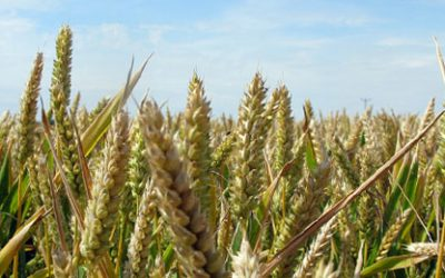 Bringing in the Sheaves–the Meaning of Pentecost/Shavuot